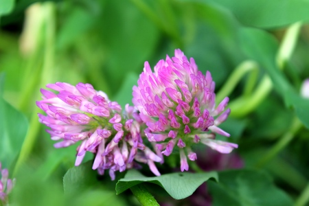 pink clover bloom in the meadow Imagens