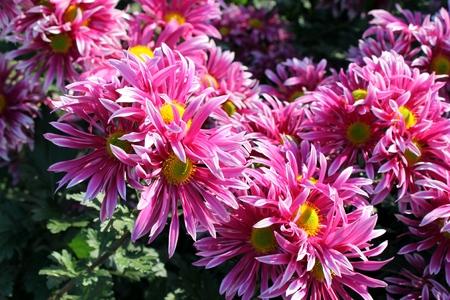 pink chrysanthemums in the garden  photo