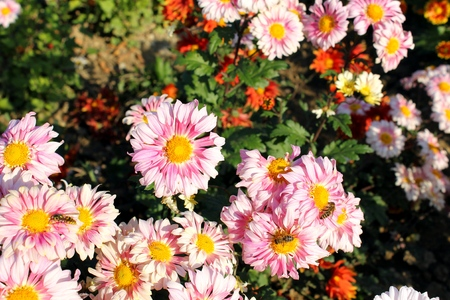 pastel pink chrysanthemums in the garden  photo