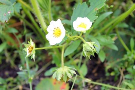 unripe: blossom and unripe strawberry fruit Stock Photo