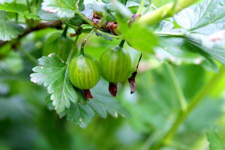 gooseberry bush: uva spina Bush che cresce nel giardino