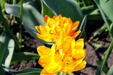 Yellow bright tulips bloom in the garden photo