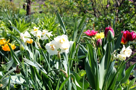 Narcissi and tulips bloom in the garden photo