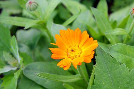 officinal: officinal orange calendula bloom in the garden