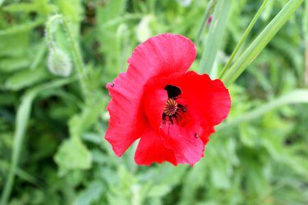 sepals: bright red poppy