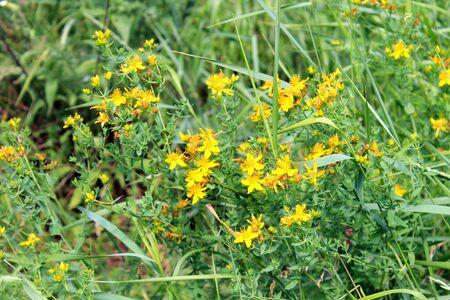depressant: medicine yellow wort