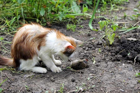 kitten playing with a dead mouse Standard-Bild