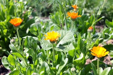 officinal: officinal orange calendula