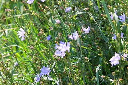 acuminate: Wild blue flowers chicory