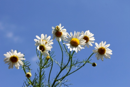 white chamomile on a background of blue sky photo