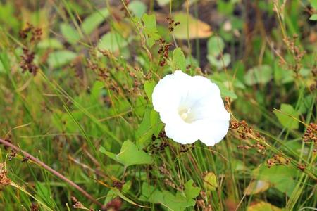 bindweed: white bindweed