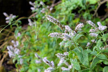 wild mint: Wild mint flowers