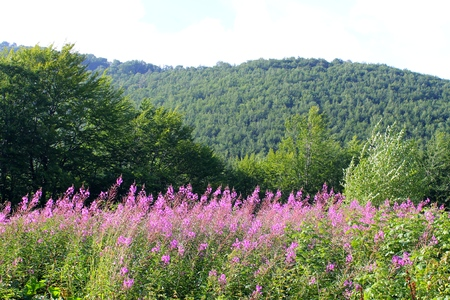 fireweed: Carpathians  Landscape with fireweed