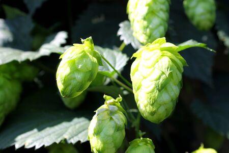 hop cone: Hop cone