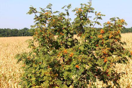 bunchy: Rowan tree