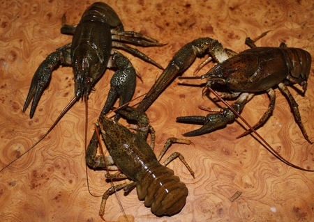 fluvial: Live crayfish