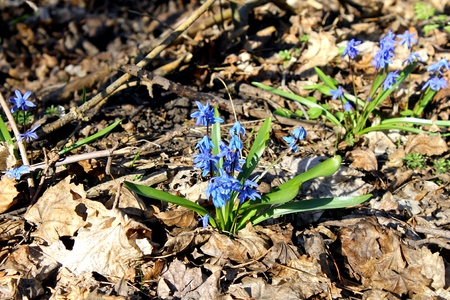 blue snowdrops photo