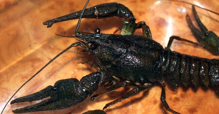 stuff fish: Live crayfish