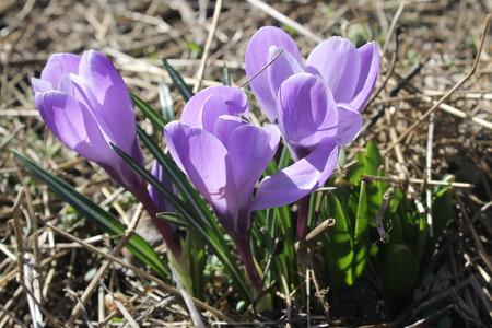 crocuses: Purple crocuses
