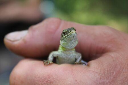 saurian: Lizard in hand