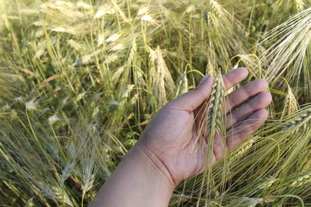 protection of arable land: Wheat on hand