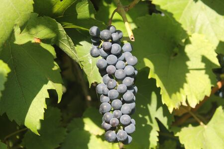grape vines: Bunch of grapes