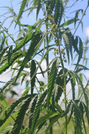 indigenous medicine: Cannabis Stock Photo