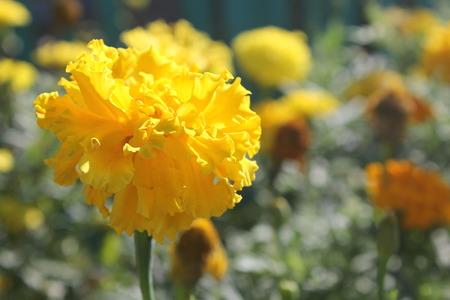 marigold: Yellow marigold