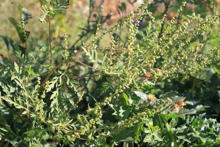 ambrosia: Ragweed plant