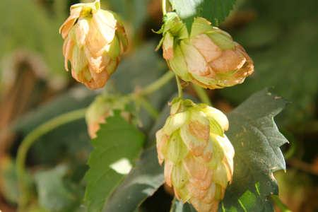 hop cones: hop cones