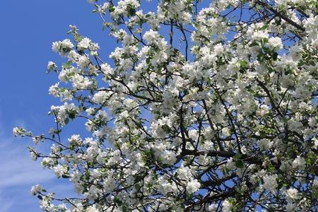 crab apple tree: blossoming apple tree