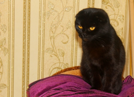 true born: Portrait of British black small fold Cat Stock Photo