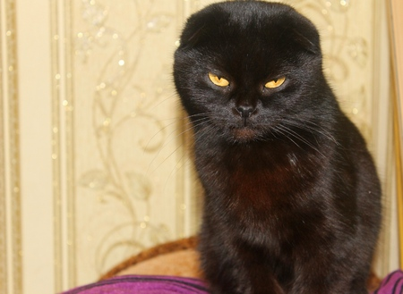 true born: Portrait of British black small fold Cat Stock Photo