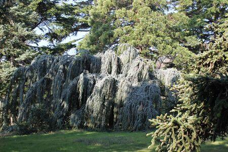 evergreen tree: evergreen tree Stock Photo