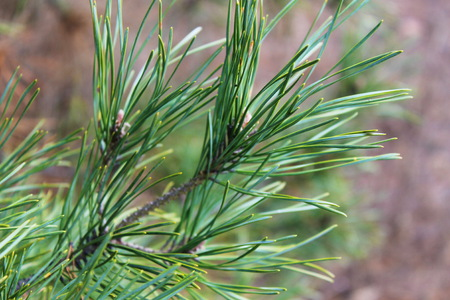 pine green: Green needles on a pine branch Stock Photo