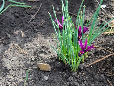 dwarf: purple dwarf irises Stock Photo