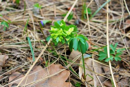 corydalis: Yellow corydalis flower