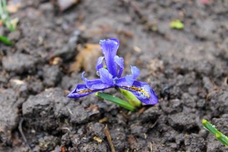 enano: iris enanos azules