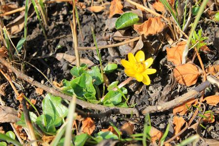 buttercup: yellow buttercup