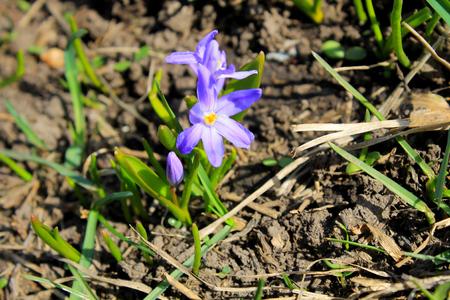 glory of the snow: Purple glory-of-the-snow (chionodoxa luciliae) Stock Photo