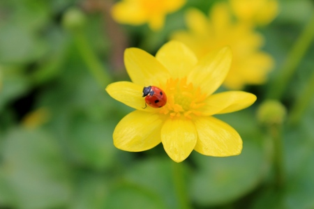 buttercup: ladybug sitting on a buttercup Stock Photo
