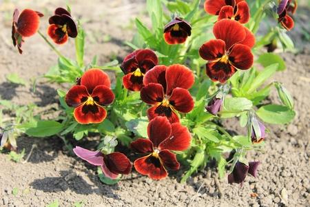 tricolor: Red pansies (viola tricolor)