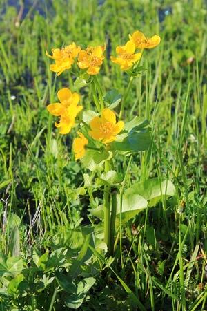 palustris: Marsh Marigold (Caltha palustris)