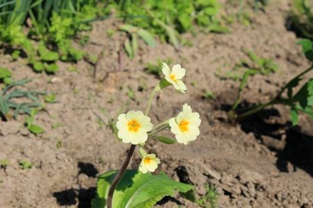 cowslip: Cowslip (Primula veris)
