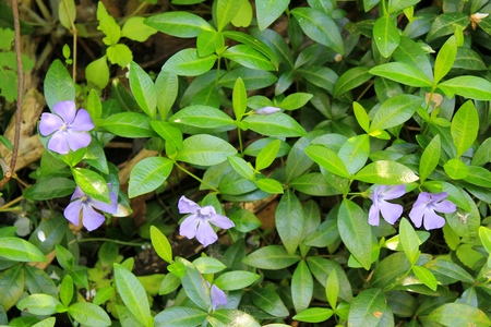 Blue periwinkle (vinca minor) 写真素材
