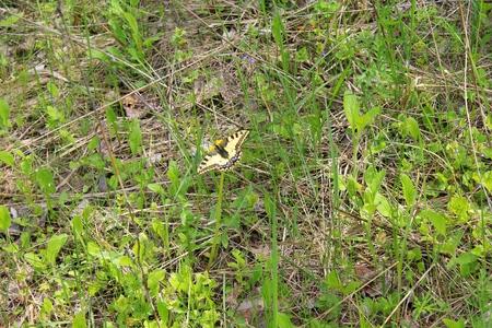 machaon: Swallowtail (Papilio machaon) on yellow dandelion
