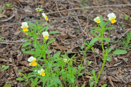 arvensis: Wild pansies