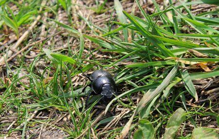 entomological: Stag-beetle female Stock Photo