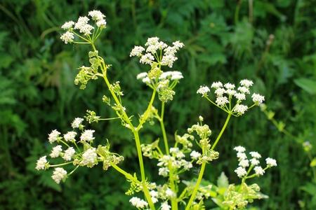 cicuta: flor blanca de la cicuta