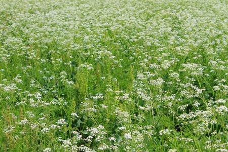 hemlock: Prado de la cicuta floración